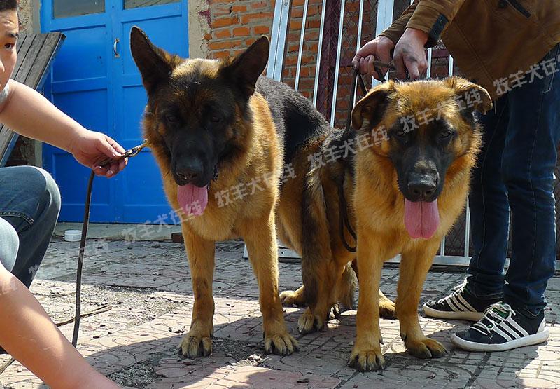 信息-金码头犬业-牧羊犬在线-德国牧羊犬信息交流